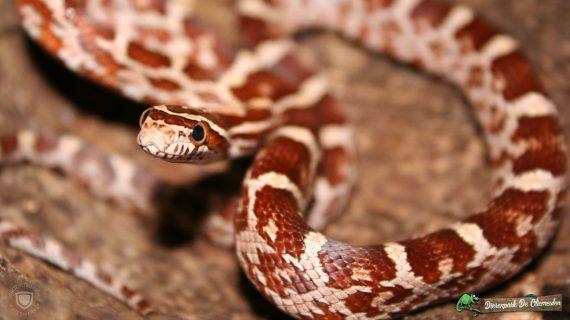 02-20050831Pantherophis-guttatus_slangen-compressor