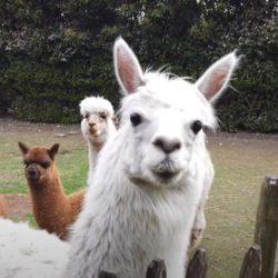 Happy de alpaca