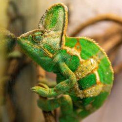 Leon de jemenkameleon